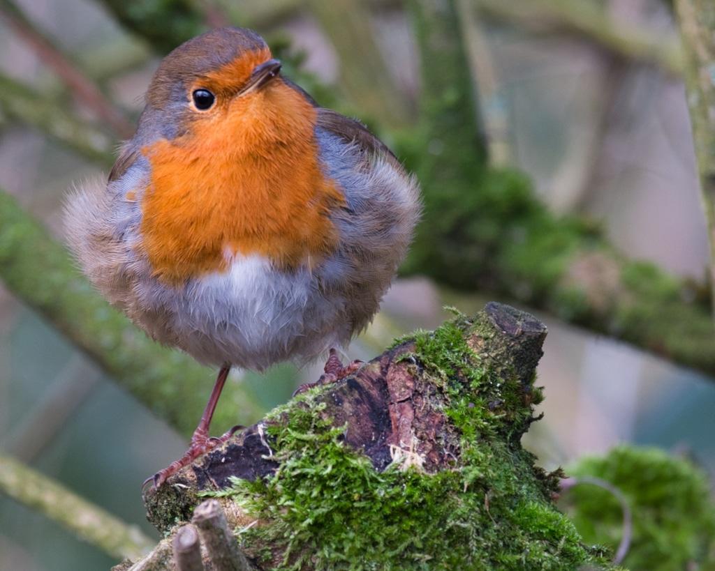 Robin ©HelenBushe